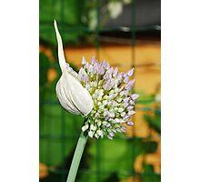 Flowering Allium Photographic Print