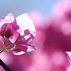 Pink Bougainvillea by Etwin