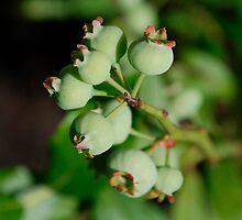 Under Ripe Blueberries by jojobob