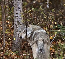 Gray Wolf along forest edge in British Columbia by pictureguy