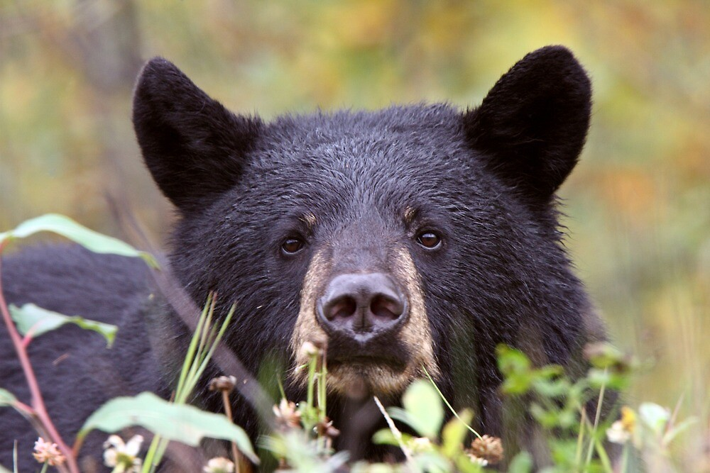 Black Bear along British Columbia highway by pictureguy