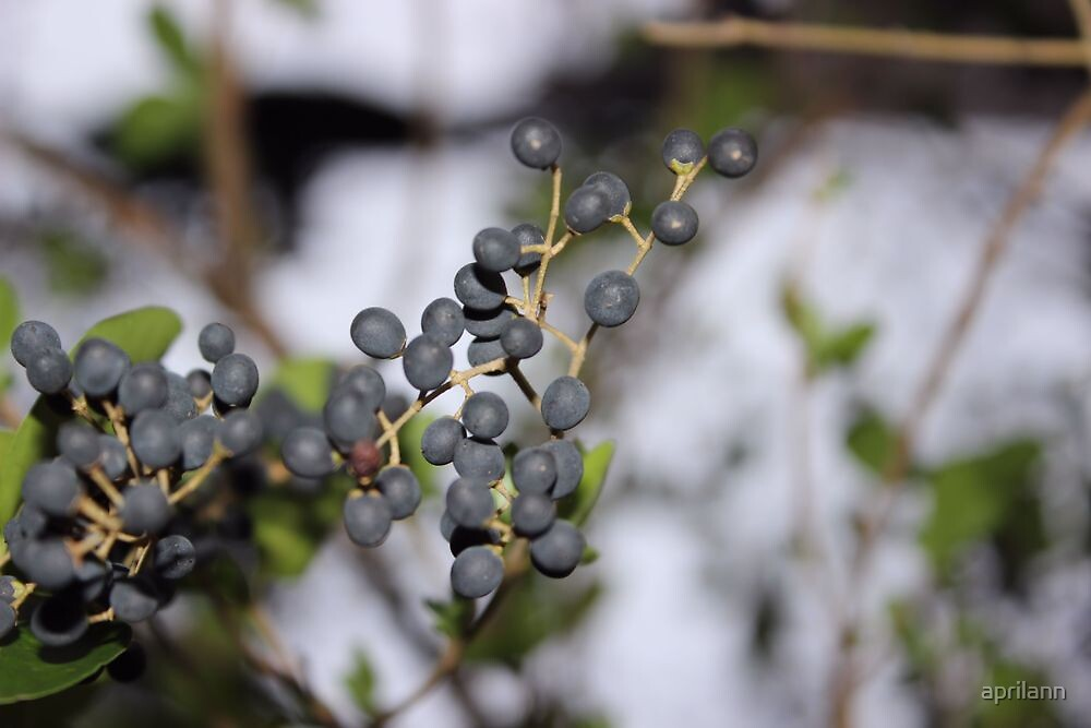 Blue Berries (not Blueberries) by aprilann