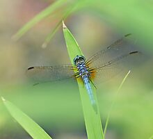 Blue Dasher by Bill Morgenstern