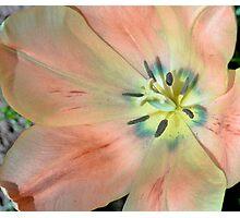 Peach Tulip Softly Lit Photographic Print