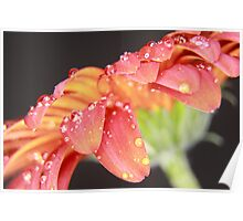 WET RED DAISY 9 Poster