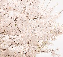 Cherry blossoms 3 by Melinda Anderson