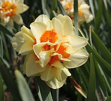 Daffodil Dreams by Paul Sturdivant