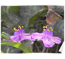 Spiderwort's Moment in the Sun Poster