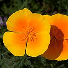 Pair of Golden Poppies by Brian D. Campbell