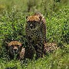 Cheetah Brothers, South Serengeti, Tanzania by Sue Ratcliffe