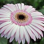 Pink Gerbera by Karen Duffy