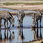Zebras, South Serengeti, Tanzania by Sue Ratcliffe