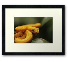 Eyelash Pit Viper, Bothriechis schlegelii Framed Print
