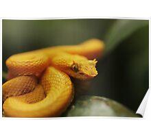 Eyelash Pit Viper, Bothriechis schlegelii Poster