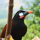 Montezuma Orapendola by Seth LaGrange