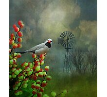 The Hecks Shaftail Finch Photographic Print