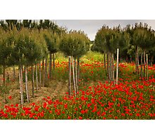 Poppy Fields in Tuscany Photographic Print