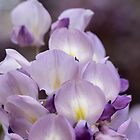 Wisteria bloom by Lynn Starner