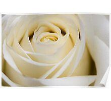 Ivory Rose Poster