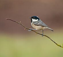 Coal tit by Margaret S Sweeny