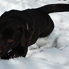 Chocolate Labrador by Matt Eagles