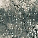 Toledo Ohio Botanical Gardens - Birch Trees by MLabuda