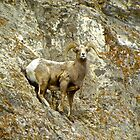 Big Horn Sheep in Jackson, Wyoming by Tisha Clinkenbeard
