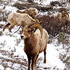 Big Horn Sheep in Elk Refuge Jackson, Wyoming by Tisha Clinkenbeard