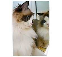 Ragdoll Reflections Poster