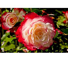 Multi-color rose with red, white and cream Photographic Print