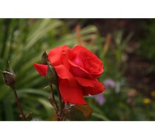 Beautiful red rose with blurred green background Photographic Print