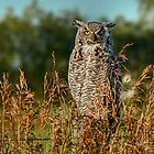 Great Horned Owl waiting for the sun to set by Patrick Kavanagh