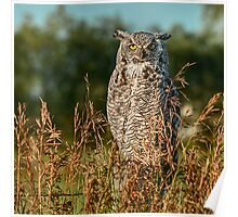 Great Horned Owl waiting for the sun to set Poster