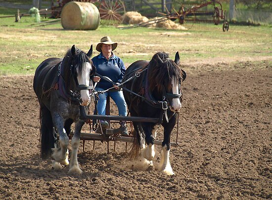 Working Horses in Gippsland  by Bev Pascoe