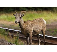 Bighorn sheep - Banff Photographic Print