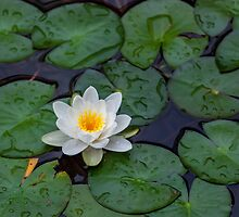 Water lily (Nymphaea alba) by Balint Takacs