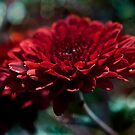 Red Aster by Nicole  Markmann Nelson