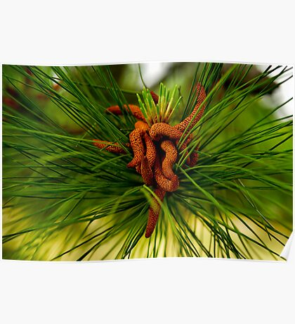 Pine Tree Seeds Poster