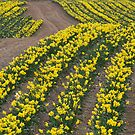 Narcissus in field of Yellow by DIANE  FIFIELD