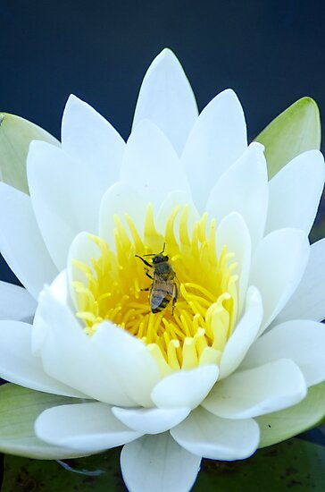 Lily and the Bee by tombell