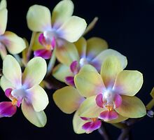 Yellow & Pink Orchids by photecstasy