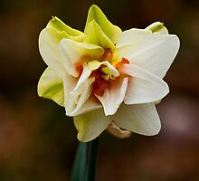Daffodil of Distinction by Otto Danby II