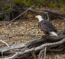 American Bald Eagle: Roots by John Williams