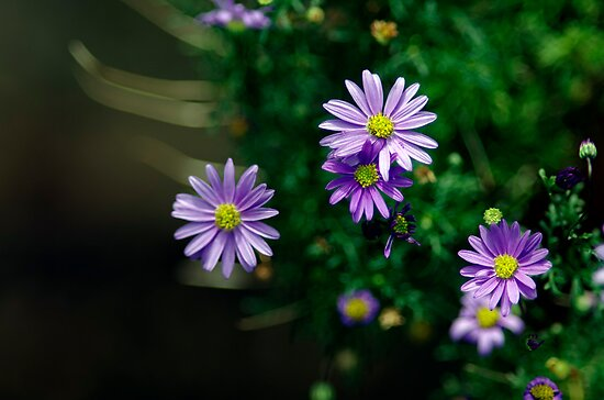 Little purple Daisies by Clare Colins