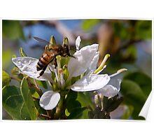 Texas Honey Bee Poster