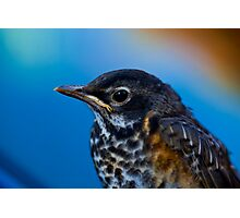 Baby Robin close up Photographic Print
