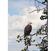 Majestic Bald Eagle in pine tree Photographic Print