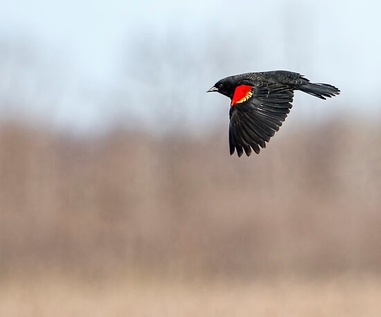 Red-winged Blackbird in Flight by Thomas Young
