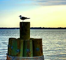 Perched Seagul by dforand