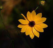 Wild Golden Sunflower by Rosalie Scanlon
